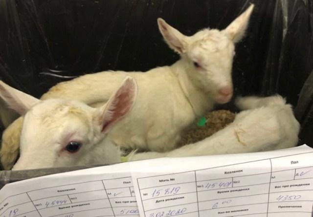 На ставропольской ферме козлят выращивают в особых условиях