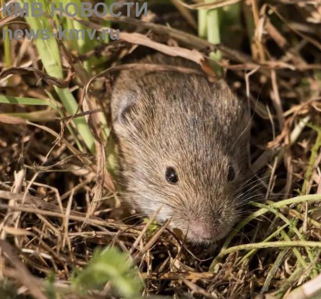 Мыши облюбовали поля Минераловодского округа