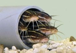 japanese-sea-catfish-plotosus-japonicus