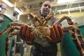 Graduate student Asia Beder holding a mature red king crab.