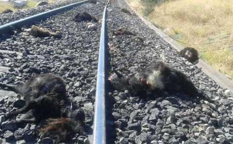 90 коз погибло под колесами поезда в Турции