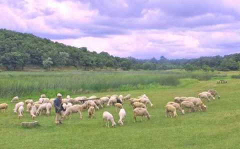 Власти Турции намерены раздать фермерам по 300 овец