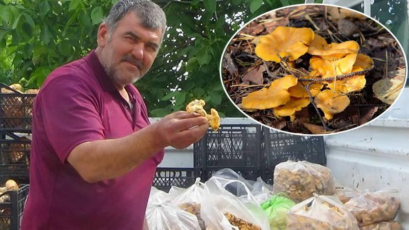 Сезон «золотых грибов» в Чанаккале