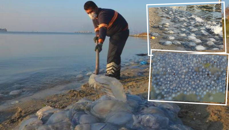 Тысячи огромных медуз покрыли берег Стамбула