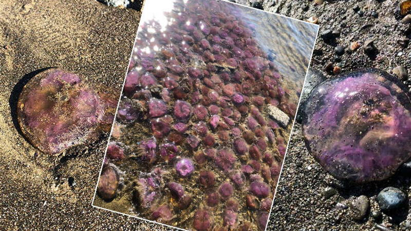 На южном побережье Турции замечены опасные медузы