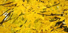 yellow-fall-leaves-1200x600
