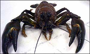 Pacifastacus leniusculus, a resistant vector for crayfish plague (Aphanomyces astaci)