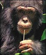 Chimp, BBC