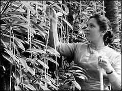 Still from BBC program on the spaghetti harvest