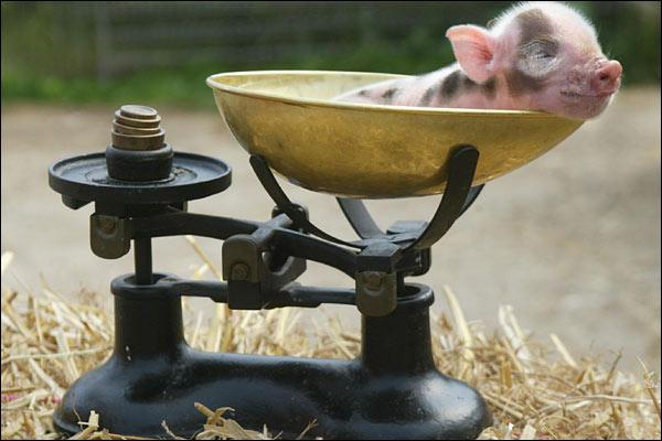 Pennywell Farm Mimipig
