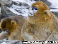 Golden snub-nosed monkeys (c) Gavin Maxwell / Naturepl.com