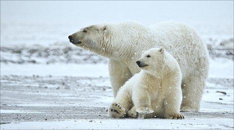 Polar bear and cub (c) Andrew Wilson / naturespicsonline.com