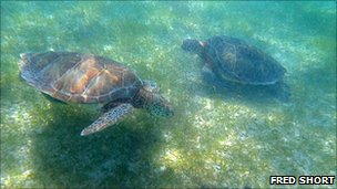 Green turtles swimming over seagrass