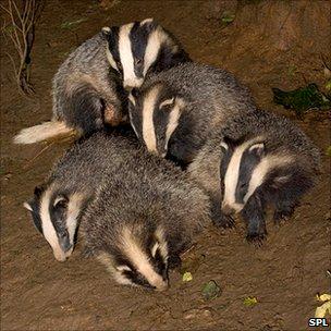 Badger cubs