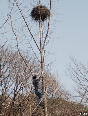 Researcher Wonyoung Lee climbing to a magpie nest (Image: Sang-im Lee)
