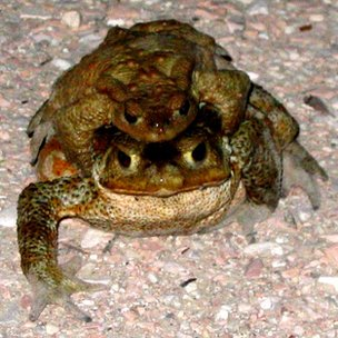 Toads mating (c) Rachel Grant