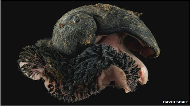 Scaly-foot snail (David Shale)