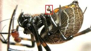 Nephilengys malabarensis