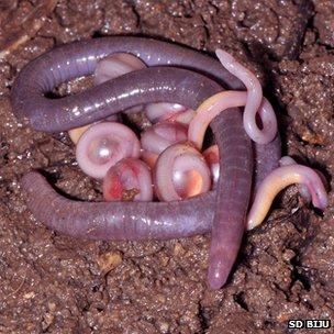 Photo of an amphibian of the family Chikilidae, S. D. Biju