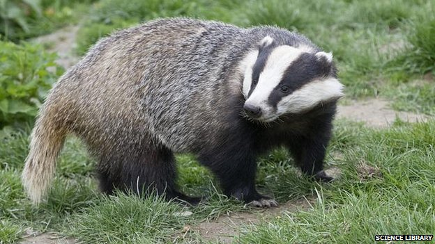 Image result for large badger