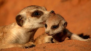 Meerkat and its youngster