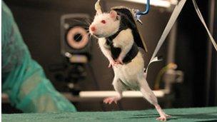 Paralysed rat walking