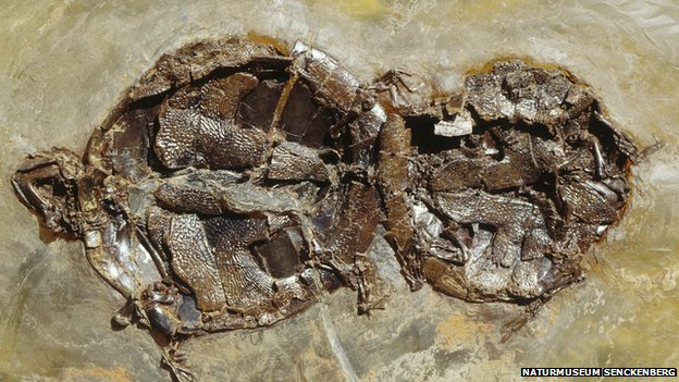 Tartarughe fossili