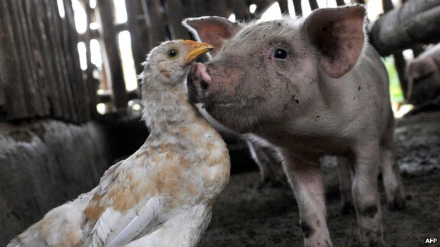 pigs could be a natural host