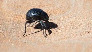 Namib Desert Beetle