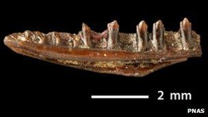 Jawbone of Obamadon gracilis