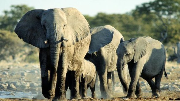 African elephant: BBC Nature