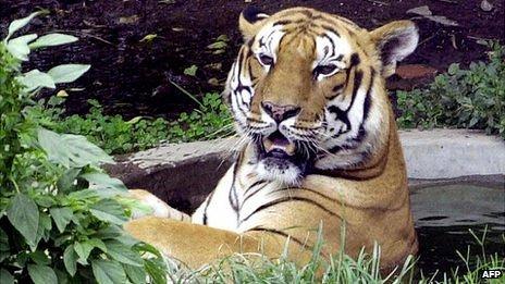Tiger in Kathmandu zoo