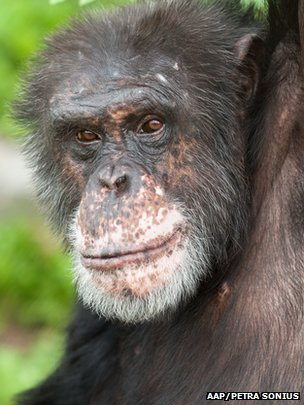 Lab Chimps Successfully Treated With Anti Depressants