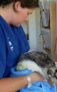 Wellington Zoo vet Lisa Argilla with the penguin. 21 Feb 2013