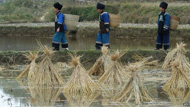 Rice farming in China (file photo)