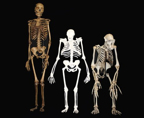 Comparisons of Australopithecus sediba to a human and a chimp
