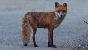 Fox standing in the street