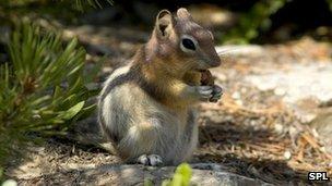 golden mantled ground squirrel,