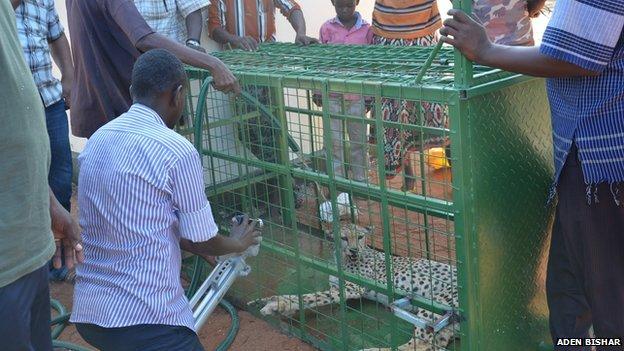 A cage cheetah in Wajir, Kenya
