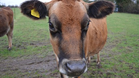 Maple Field Farm cow