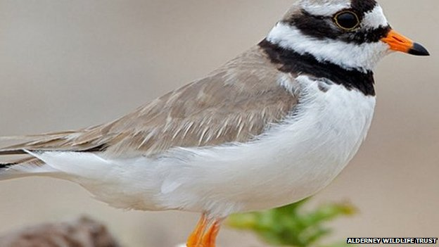 Alderney campaign to protect ringed plover birds