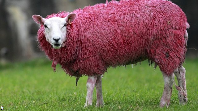 A sheep has its wool painted pink