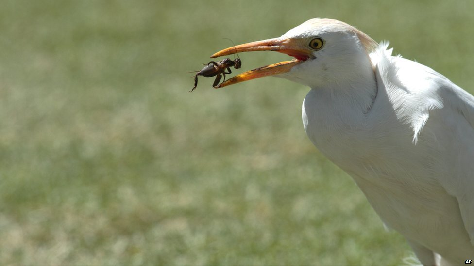 A white stork feasts on a cricket it caught on the pitch, during the cricket One Day International final between South Africa and Australia in Harare, Zimbabwe, Saturday, 6 September 2014