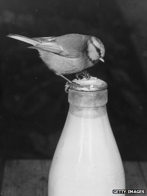 Bird pecking milk bottle top