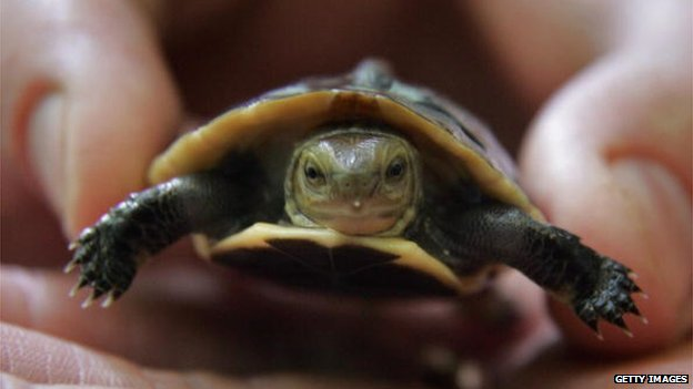 An endangered Chinese box turtle is held by a zoo curator on 12 August 12, 2012 in Bristol, England