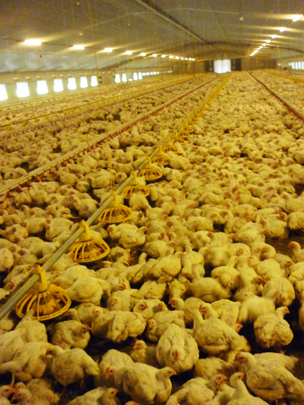 Inside the chicken shed at Lower Farm
