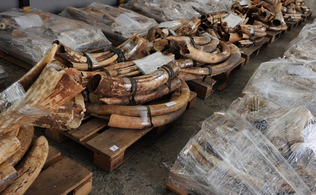 Ivory tusks seized during an anti-smuggling operation are displayed during a Hong Kong Customs press conference on October 20, 2012
