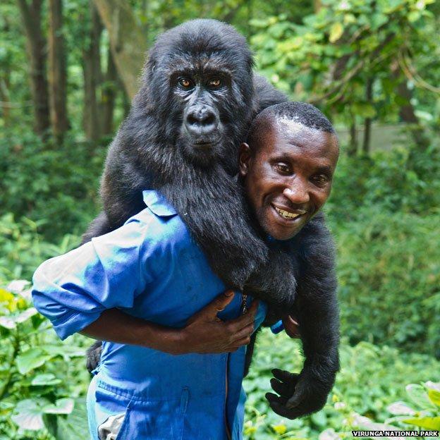 78846018 gorilla virunga624 Photos: The man with the adopted gorilla daughter