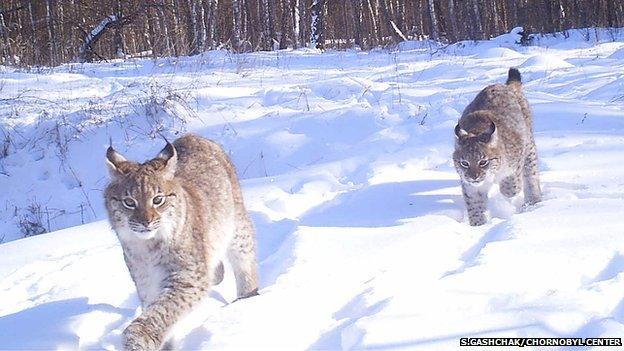 Lynx in the Chernobyl Exclusion Zone (Image courtesy of Sergey Gashchak/Chornobyl Center, Ukraine)