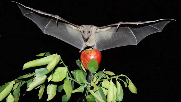 Egyptian fruit bat in flight (c) Yossi Yovel
